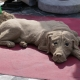 פסל של כלב מחול